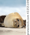 Southern Elephant seal lying on a sandy beach 43355109