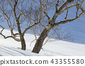 핫포오네, 핫포오우네, 사스래나무 43355580
