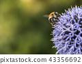 Bumble Bee on Echinops 43356692