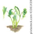 芋頭 葉 樹葉 43361439