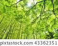 ต้นเมเปิล,กอไผ่,พืชสีเขียว 43362351