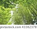 ต้นเมเปิล,กอไผ่,พืชสีเขียว 43362378