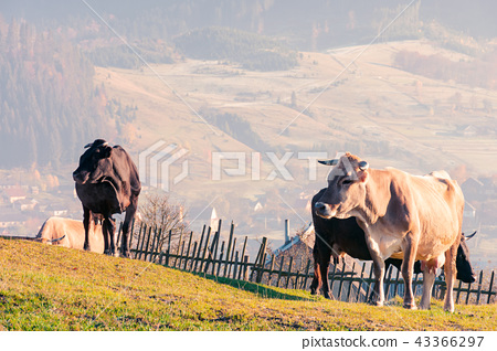 herd of cows on a grassy hill 43366297