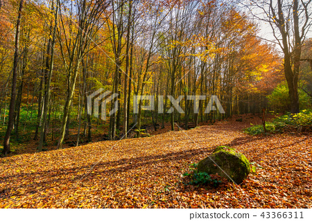 lovely forest scenery in autumn 43366311