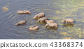 Aerial view of Hippopotamus  43368374