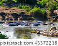 Pack of hippos is having rest in river 43372219