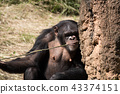 ลิงชิมแปนซีเลียกิ่งไม้ติดกับมดกอง 43374151