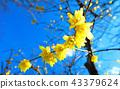 납매, 납매꽃, 받침꽃과 43379624