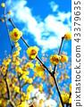 납매, 납매꽃, 받침꽃과 43379635