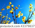 납매, 납매꽃, 받침꽃과 43379637