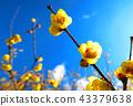 납매, 납매꽃, 푸른 하늘 43379638