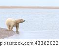 北極熊 43382022
