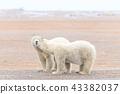 北極熊 43382037