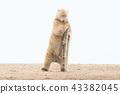 北極熊 43382045