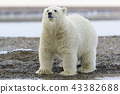 북극곰 43382688