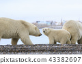 北極熊 43382697