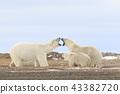 北極熊 43382720