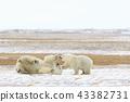 北極熊 43382731