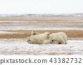 北極熊 43382732