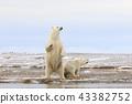 北極熊 43382752