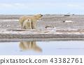 北极熊 43382761