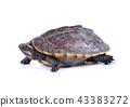 turtle on white background 43383272