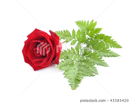 Red rose isolated on white background. 43383420