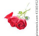 กุหลาบ,ดอกกุหลาบ,สีแดง 43383452