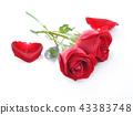 กุหลาบ,ดอกกุหลาบ,สีแดง 43383748