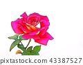 장미 꽃 43387527