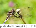 white-tailed skimmer, orthetrum albistylum, dragonfly 43388118