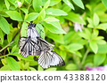 red ring skirt, nymphalid, brush-footed butterfly 43388120