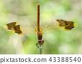 褐帶赤蜻 蟲子 漏洞 43388540