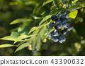 블루 베리 나무 43390632