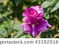 장미, 장미꽃, 로즈 43392016