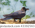 Crow is beside the pond 43392563