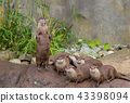 Lovely playful otters have fun outdoors nature 43398094