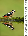 Close up of Great spotted woodpecker  43399430