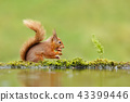 Close up of a red squirrel eating a nut 43399446