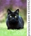 Close up of a black cat lying on the grass 43399462