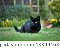 Close up of a black cat on the grass 43399463