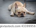 Young french bulldog is sleeping on the ground. 43399956