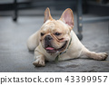 Young french bulldog is sleeping on the ground. 43399957