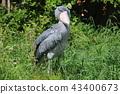 鷹眼鵜鶘與眼睛捕獲 43400673