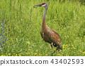 Adult Sandhill Crane, Grus canadensis, feeding 43402593