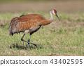 Adult Sandhill Crane, Grus canadensis, hunting 43402595