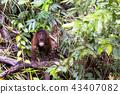 猩猩 動物 猴子 43407082
