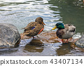Duck Mallard duck 43407134