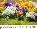 Blossoming pansies flowers in the garden 43408701