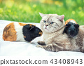 Cat with two guinea pigs in the garden 43408943